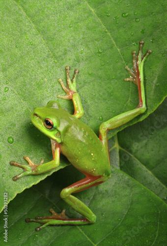 Foto op Plexiglas Kikker Green frog climbing a leaf