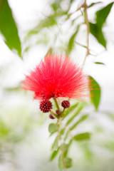 Calliandra Powder-puff flower