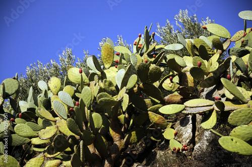 Opuntia ficus-indica Опунция индийская 梨果仙人掌