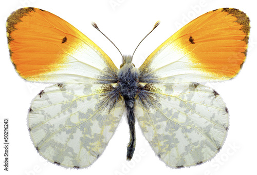 Staande foto Vlinder Isolated male orange tip butterfly