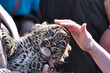 baptism young leopard cub in ZOO with hand and cub leopard