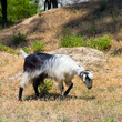 goat in the wildness Turkish valley