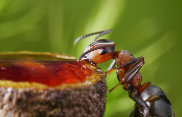 feeding ant with strawberry syrup