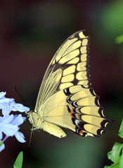 Swallowtail Butterfly on Blue Flower