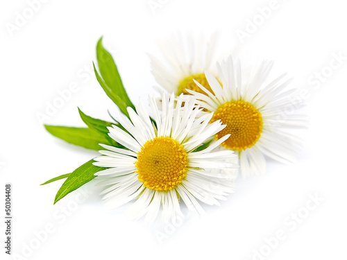 Foto op Canvas Madeliefjes Wood chamomile