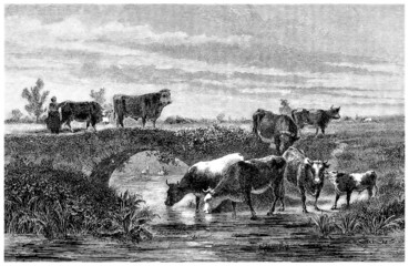 Cows - Vaches - Kuhe
