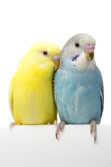 two birds are on a white background
