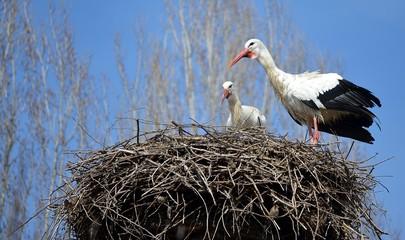 Cicogne su un nido