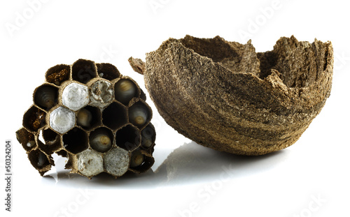 wasps' nest with larva