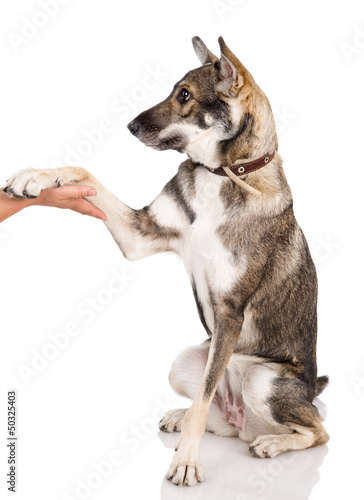 dog shaking hands with a man. isolated on white