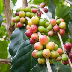 coffee berries on a branch