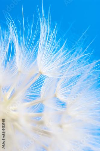 Keuken foto achterwand Paardebloemen en water Dandelion close-up
