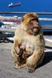 Barbary ape feeding baby, Gibraltar © Arena Photo UK
