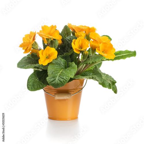 Orange Primroses