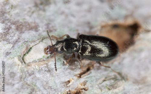 Salpingus planirostris on wood, extreme close-up