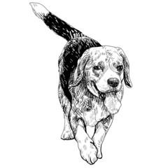 Runnig Beagle
