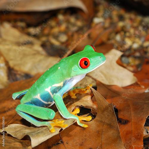 Fototapeten,frosch,grün,amphibians,rot