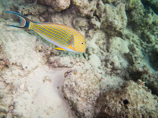 striped doctorfish tang