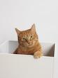 白い箱に入った茶トラ猫