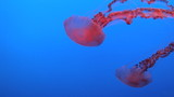 Spectacular Jellyfish red color in blue water