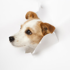 Hund durchbricht Papier - Dog breaks through paper