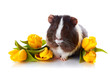 Guinea pig with yellow tulips.