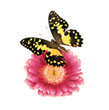 Schmetterling mit Gerbera