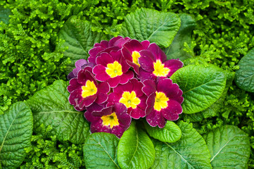 Purple primulas flower