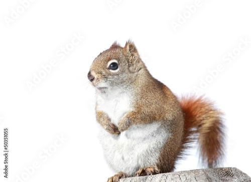 Aluminium Eekhoorn portrait d écureuil