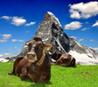 Cow in the meadow.In the background of the Matterhorn