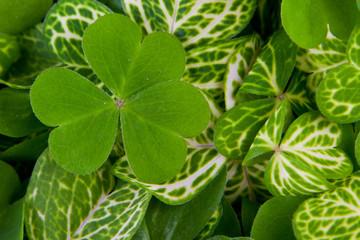 three leaf clovers