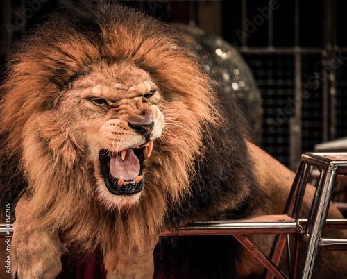 Close-up strzał z wspaniały lew ryczący w cyrkowej arenie