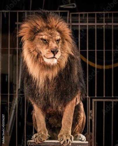 Gorgeous lew siedzi w cyrku arena klatce