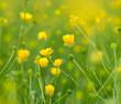 Blooming little yellow meadow flower