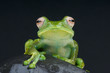 White spotted tree frog / Boophis sibilans