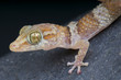 Madagascar Ground Gecko / Paroedura bastardi