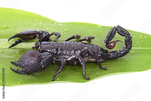 Emperor Scorpion on a green leaf