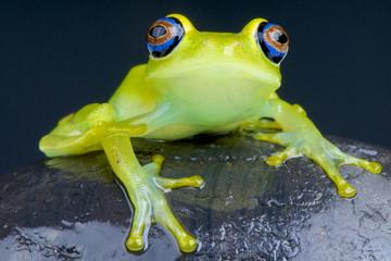 Blue-eyed tree frog / Boophis viridis
