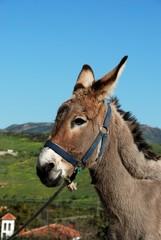 Tethered donkey, Andalusia, Spain © Arena Photo UK