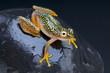 Spotted frog / Heterixalus alboguttatus