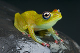 Red Spotted Tree Frog / Boophis erythrodactylus