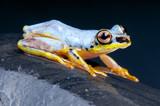 White Tree Frog / Heterixalus madagascariensis poster