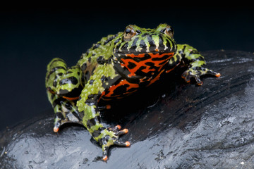 Fire-bellied toad / Bombina orientales
