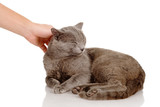 Hand of person stroking head of cute cat. isolated on white