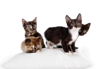 group of cats on a pillow. isolated on white