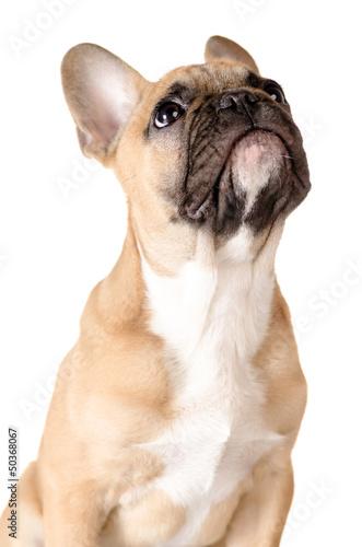 Papiers peints Bouledogue français Französische Bulldogge vor weiß