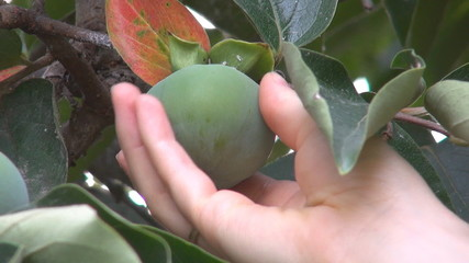 Research verify Green Persimmons (Kaki)