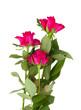 three mauve rose