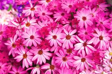 ピンクの菊