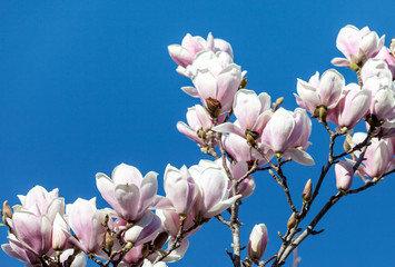 Fiori Di Magnolia/Magnolia Flowers Against Blue Sky